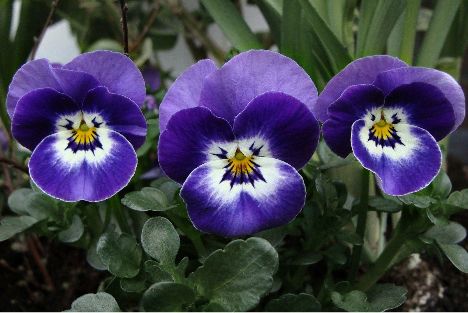 Blue White Pansies Flowers Pinterest Flowers Flower And Gardens