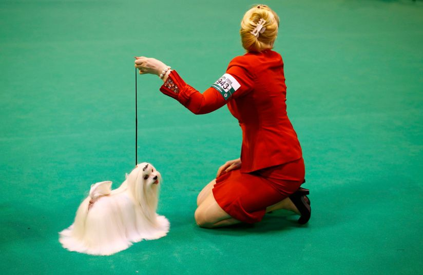 Crufts Dog Show Pedigree Pooches Compete For Best In Show Title