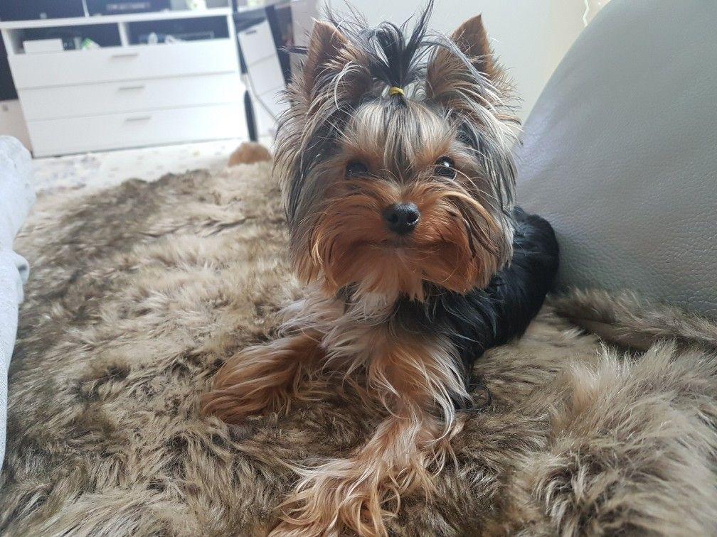 Beautiful pup... | Baby puppies, Yorkshire terrier, Yorkie