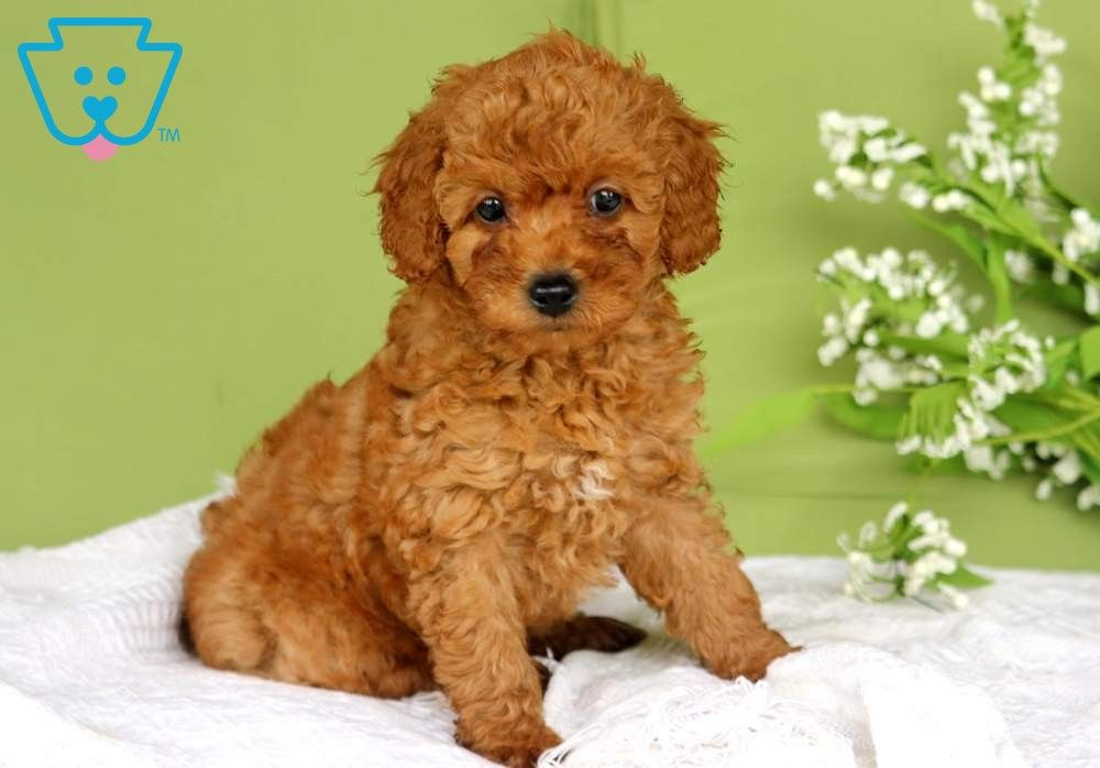 Muffin Cockapoo Puppies Cockapoo Puppies For Sale Puppies