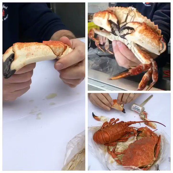 """""""How To Crack Crab  from Jeff @qualityseafood - Male Santa Barbara Crab  #Foodiechats"""" : #Foodiechats - twitter:"""