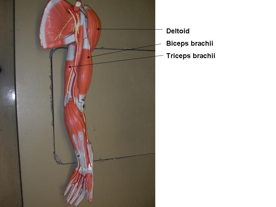 Chest and Arm Muscles Labeled Models - Biceps brachii, Deltoid ...