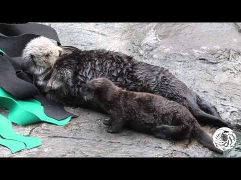 sea otter pup love