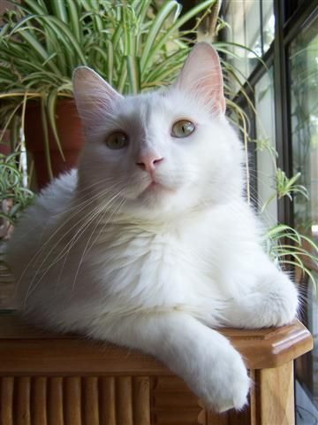 Handsome White Cat Baby cats, Beautiful cats, White cats