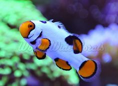 saltwater coral reef - Google Search