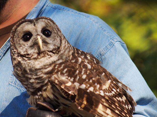 Elmo the Barred Owl by BellaEatsBooks, via Flickr