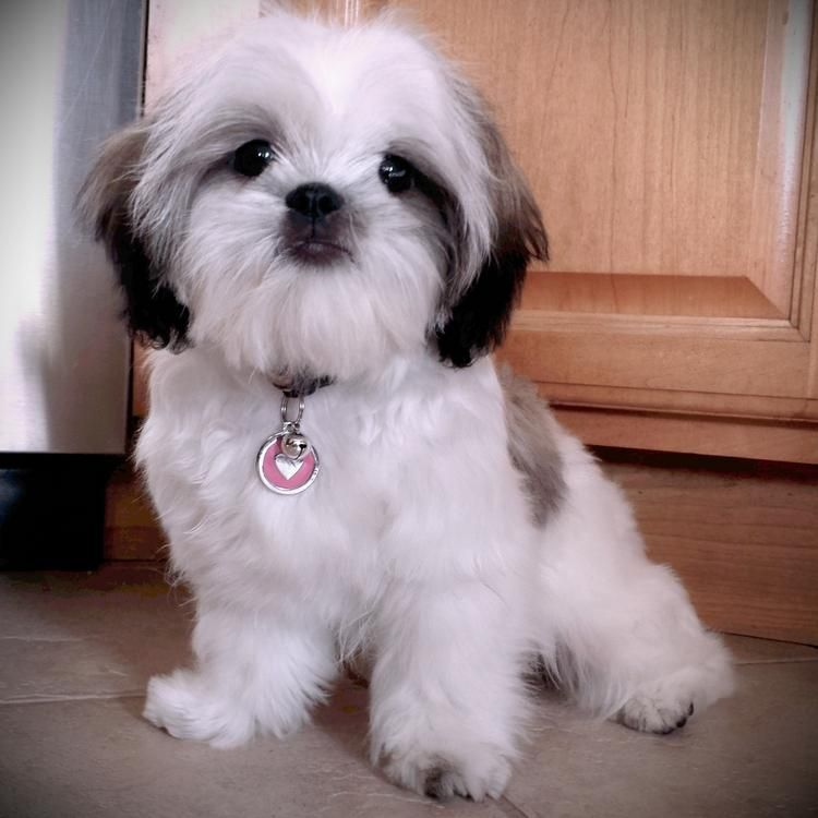 Photo Lovely Shih Tzu Puppies For Adoption Chien chat