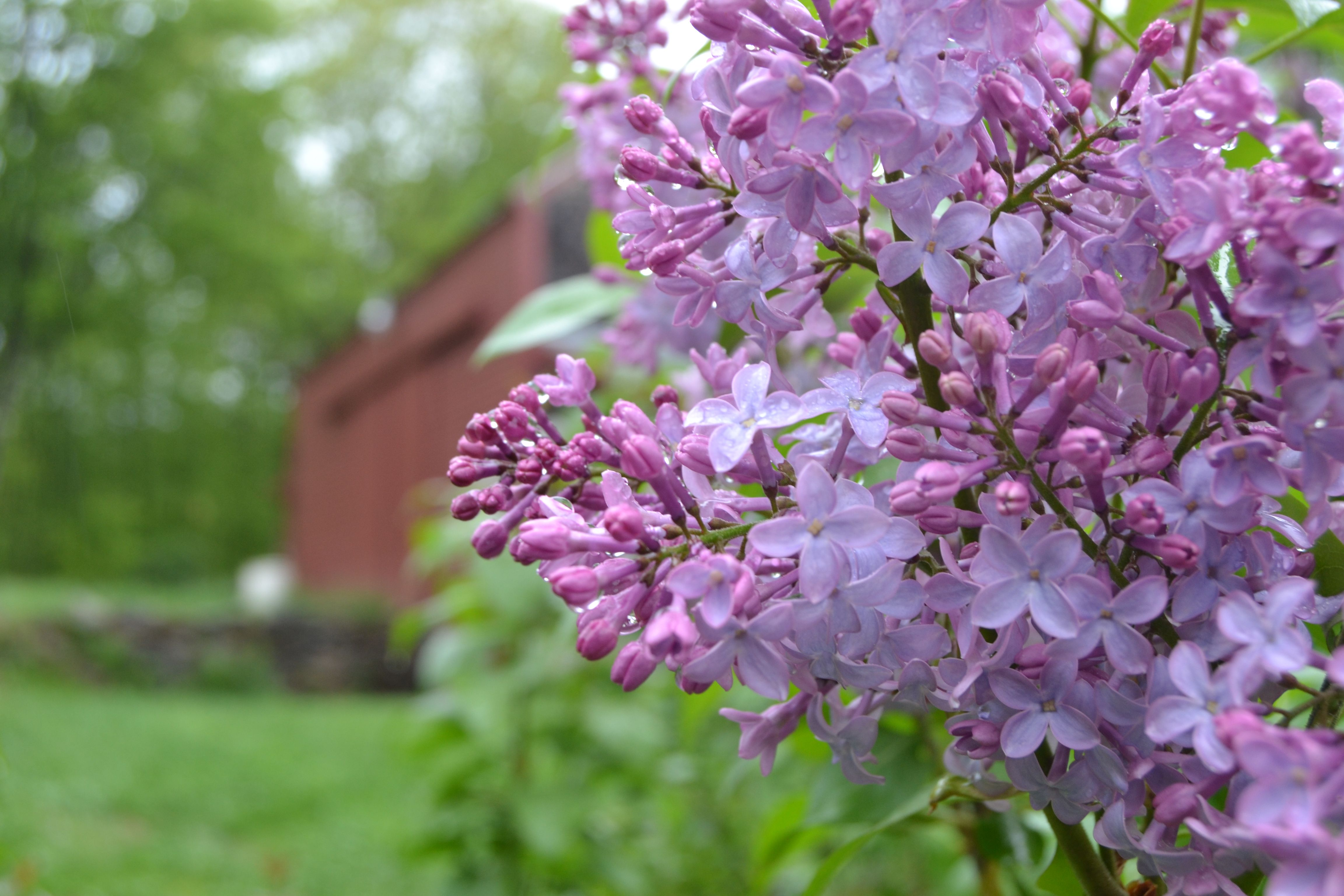 History Of The Lilac Bush Lilac Bushes Organic Raised Garden Beds