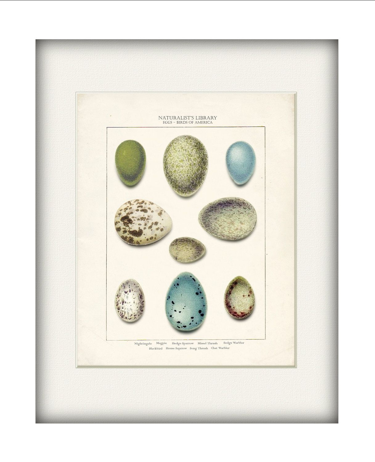 Songbird Eggs Shabby Chic Art Print - Birds of America Natural ...