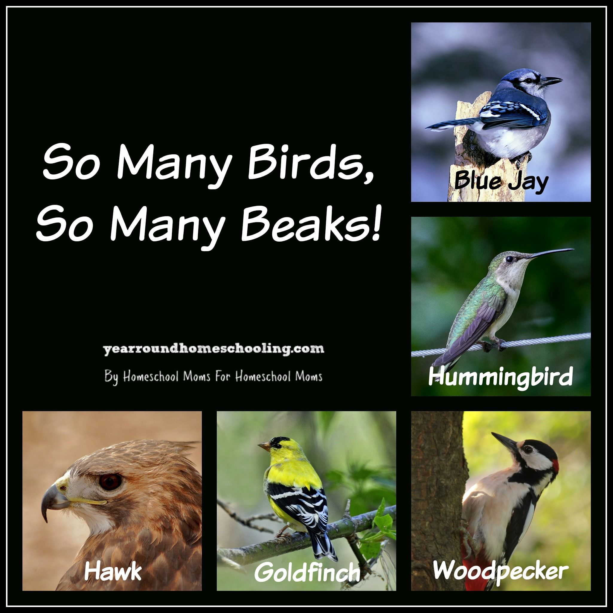 Learning About Birds Part 3 Beaks
