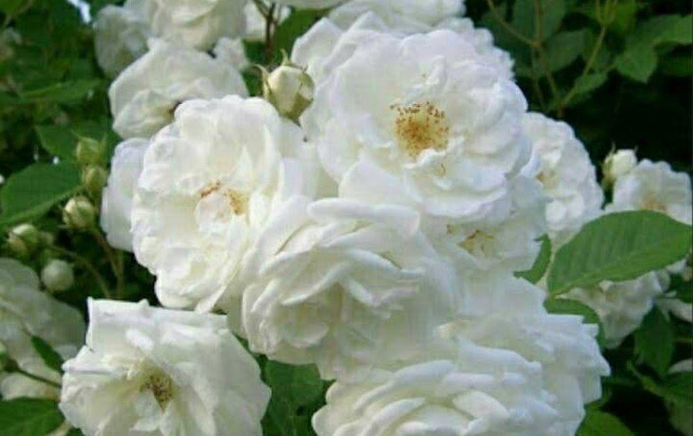 34 Bunga Melati Rose Di 2020 Menanam Bunga Tanaman