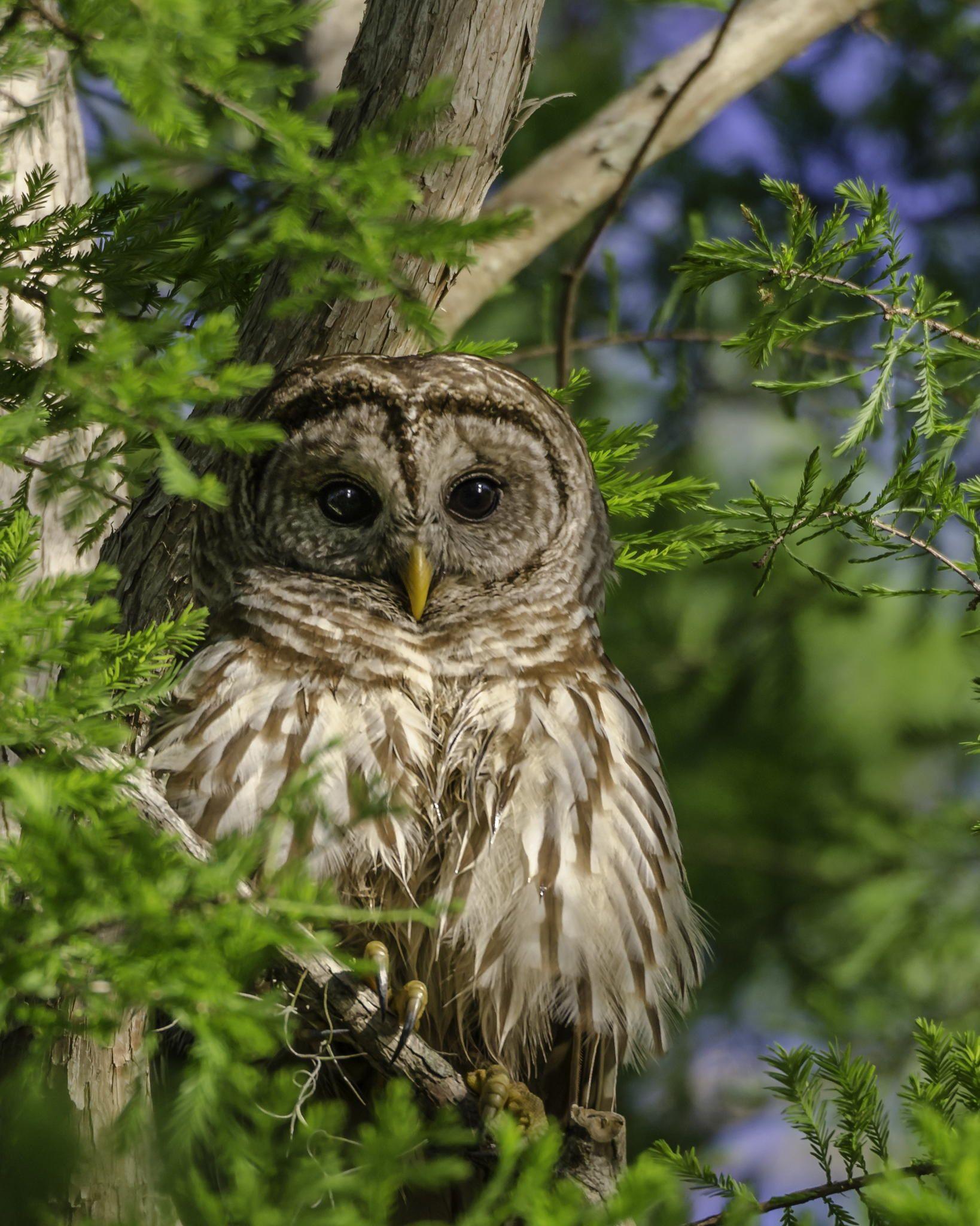 Barred Owl At Sunrise Barred Owl Owl Beautiful Owl