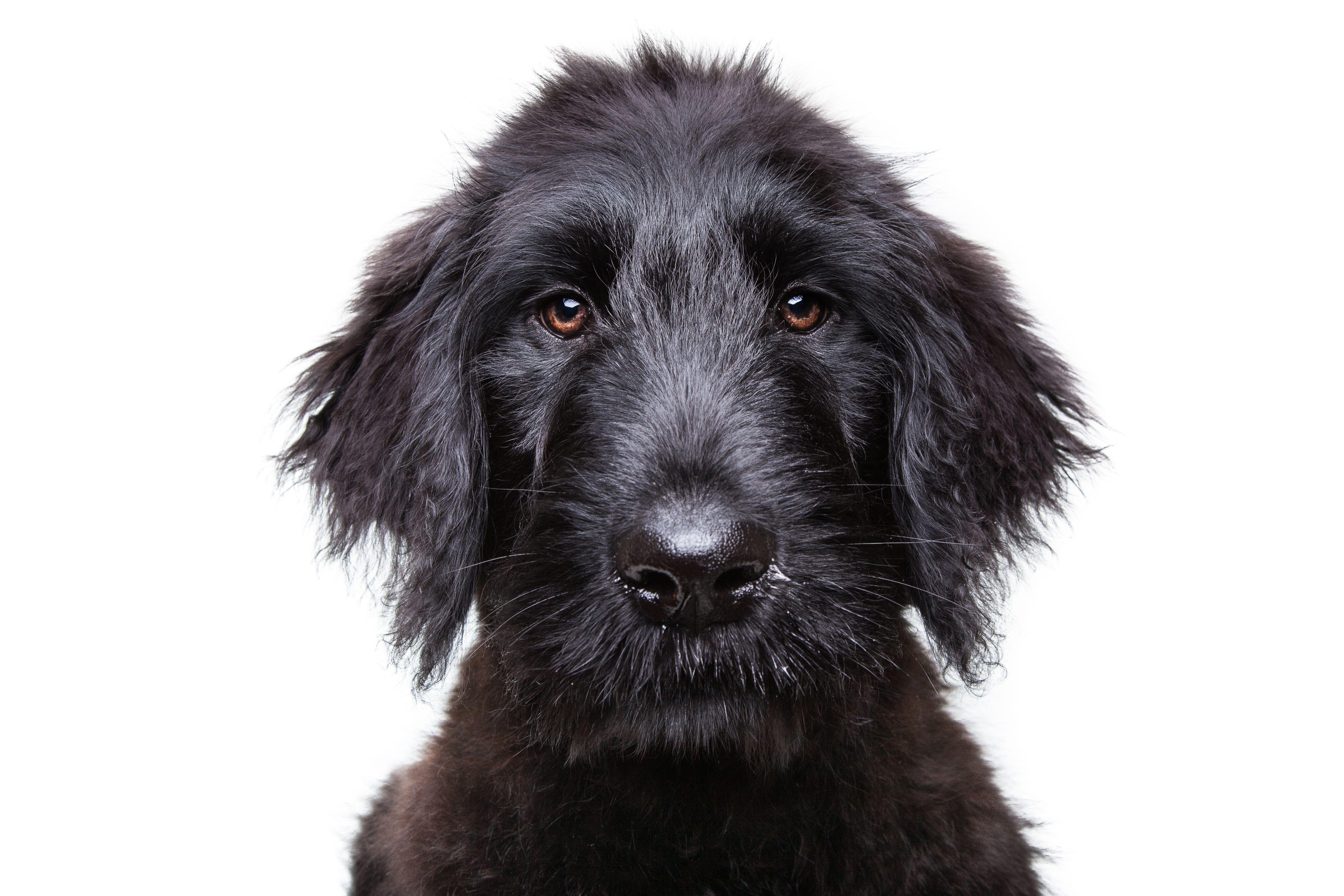 Black Russian Terrier Puppy | colors | Pinterest