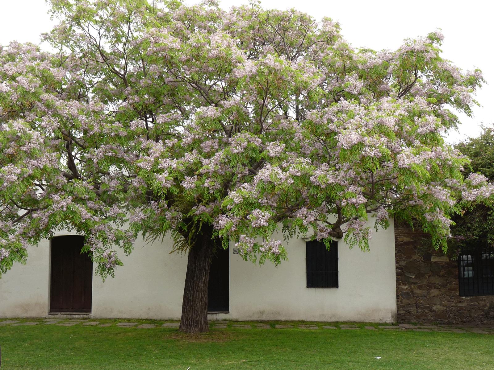 Melia azedarach chinaberry arboles rboles de for Arboles perennes de crecimiento rapido