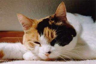 Kucing Kembang Telon Jantan Harga Kucing Kembang Telon Kucing Kaliko Kucing Dan Anak Kucing Kucing Belang