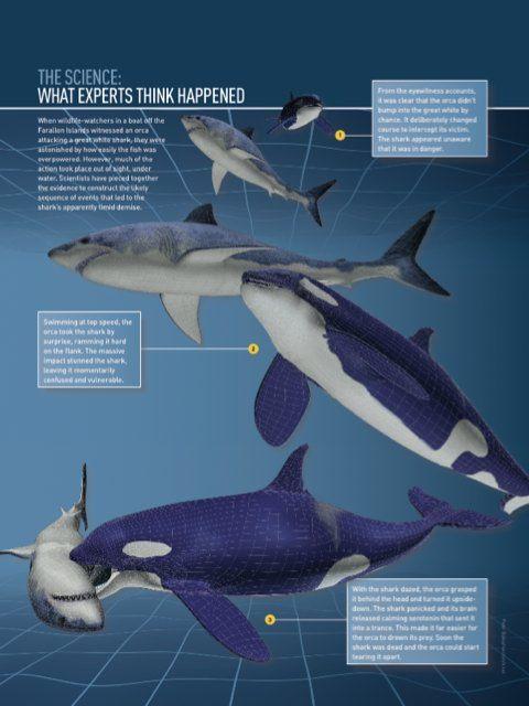 Great white shark versus orca | Sharks | Pinterest | Shark ...