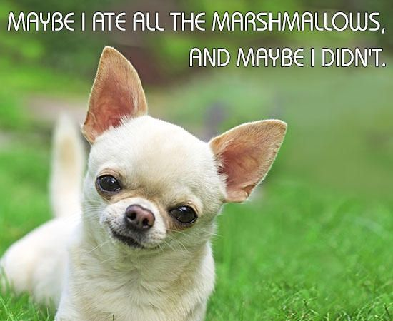 Best Chihuahua Canine Adorable Dog - de330043b4140bb7c60eb5f9df9a73b2  Graphic_584852  .jpg