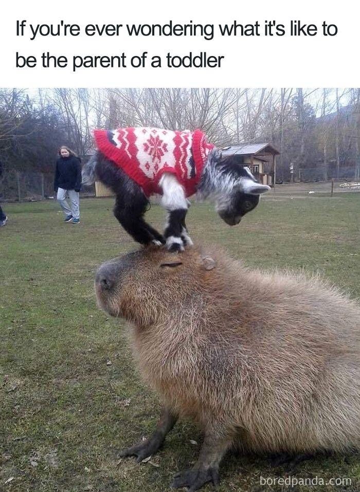 R Goats Good Pets Funny-Mom-Memes | wond...