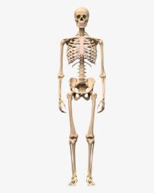 ايقاظ علمي سنة خامسة أجزاء الهيكل العظمي وأنواع العظام Humanoid Sketch Art