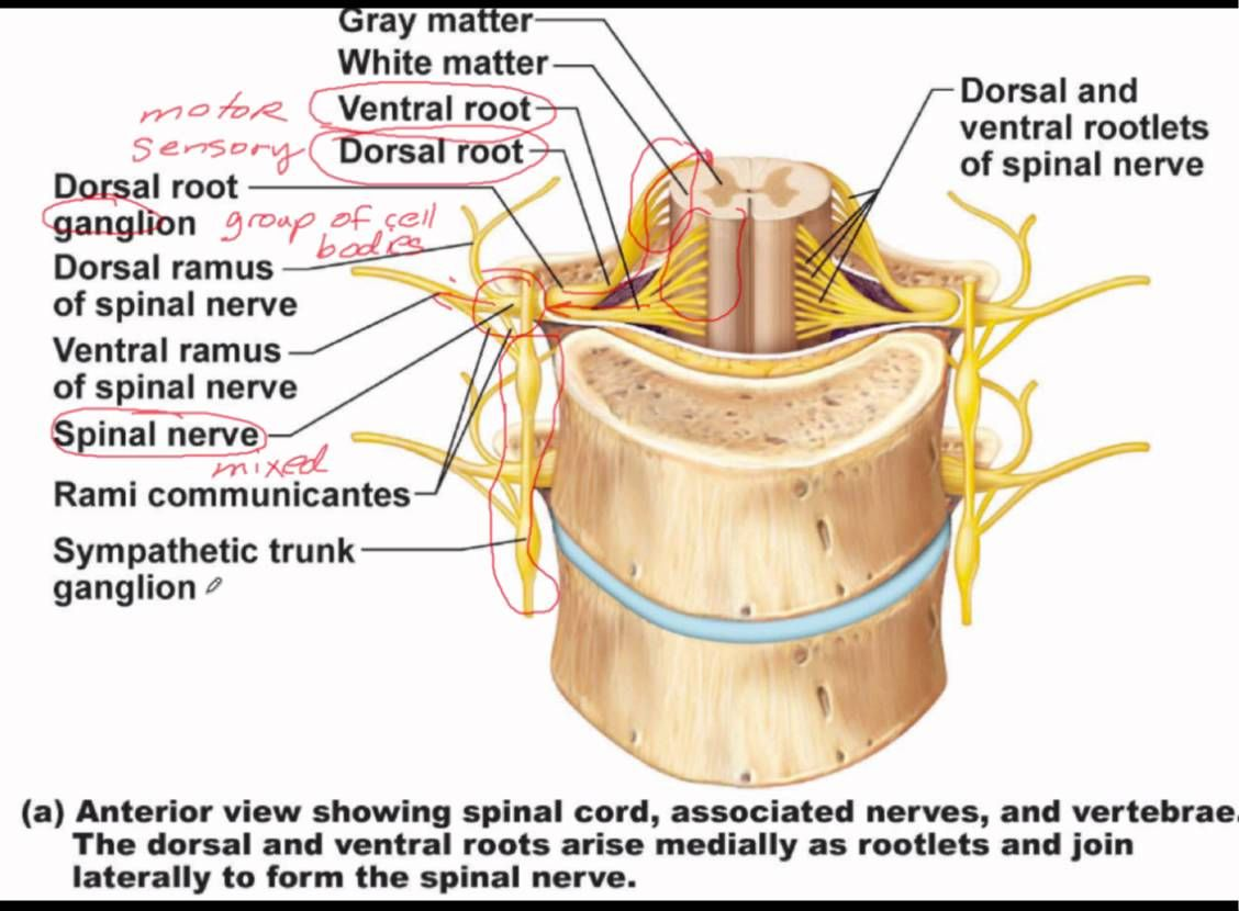 Chapter 13 Lecture D - Spinal Nerves | BIO.1141 Anatomy and ...
