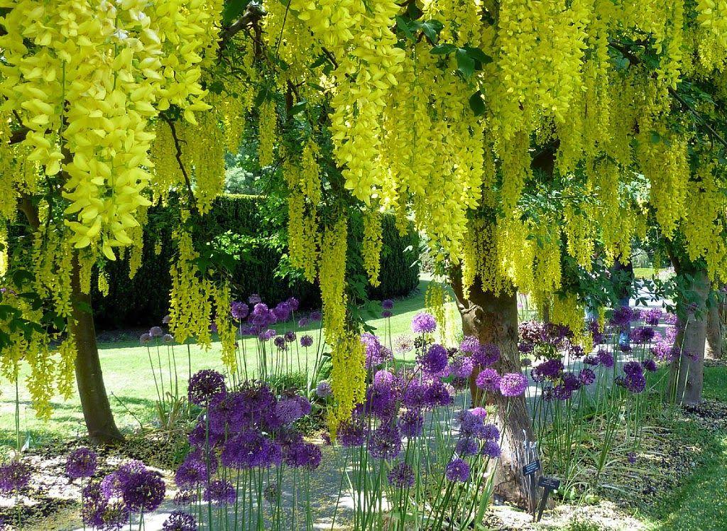 Rbol Lluvia De Oromi Favorito My Garden Spring Pinterest