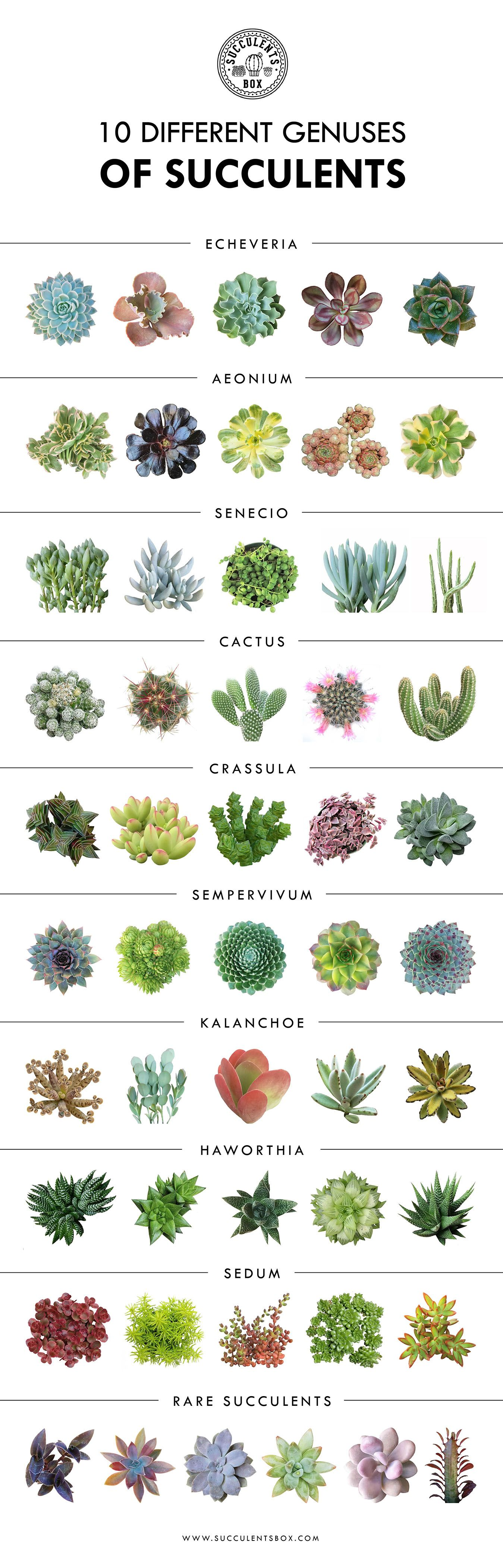 10 Different Genuses Of Succulents Succulents Echeveria Sedum Cactus Kalanchoe Aeonium Senecio Sepervivum Cotyle Plants Planting Succulents Succulents