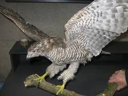Znalezione Obrazy Dla Zapytania Ptaki Drapieżne W Polsce Zoos