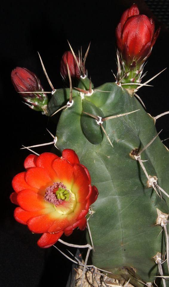 Echinocereus triglochidiatus v. gonacanthus