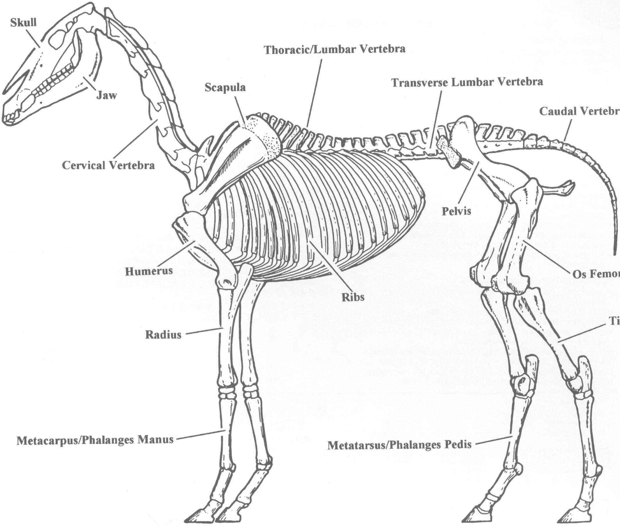 Horse skeleton - Bing Images | Concept Art | Pinterest | Skeletons ...