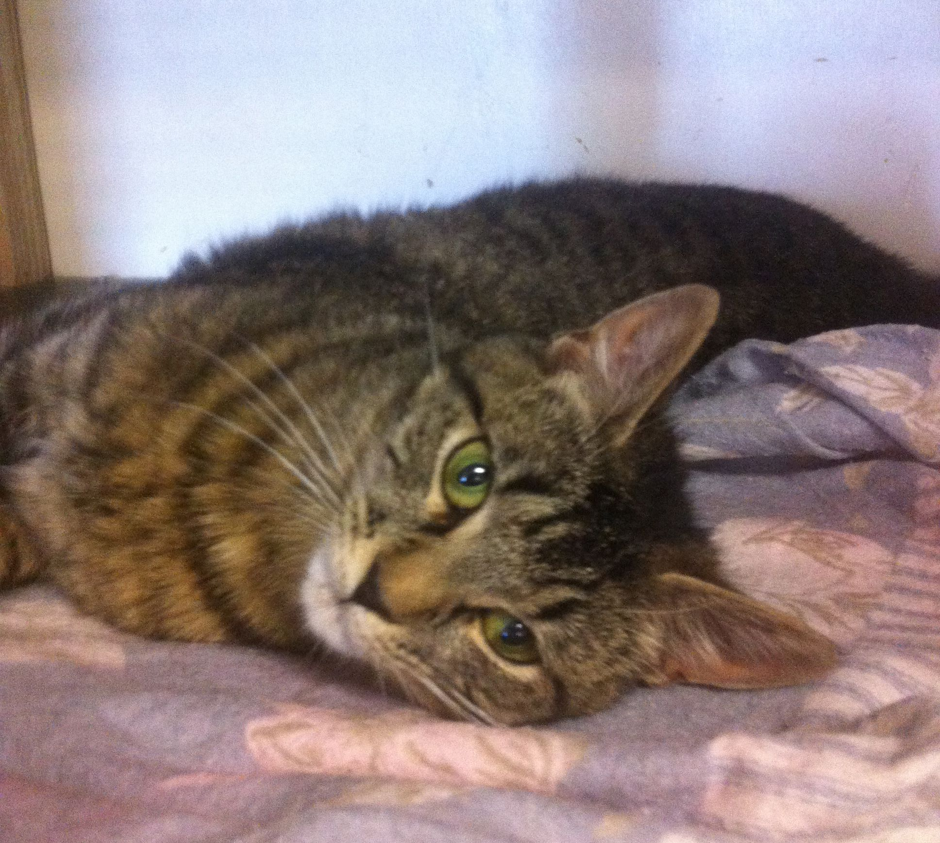 Cicari Is A 10 Month Old Female Domestic Short Hair Tabby She Gets Along Well With Other Cats And Is Just Learning About Dogs She I Pets Cute Animals Tabby