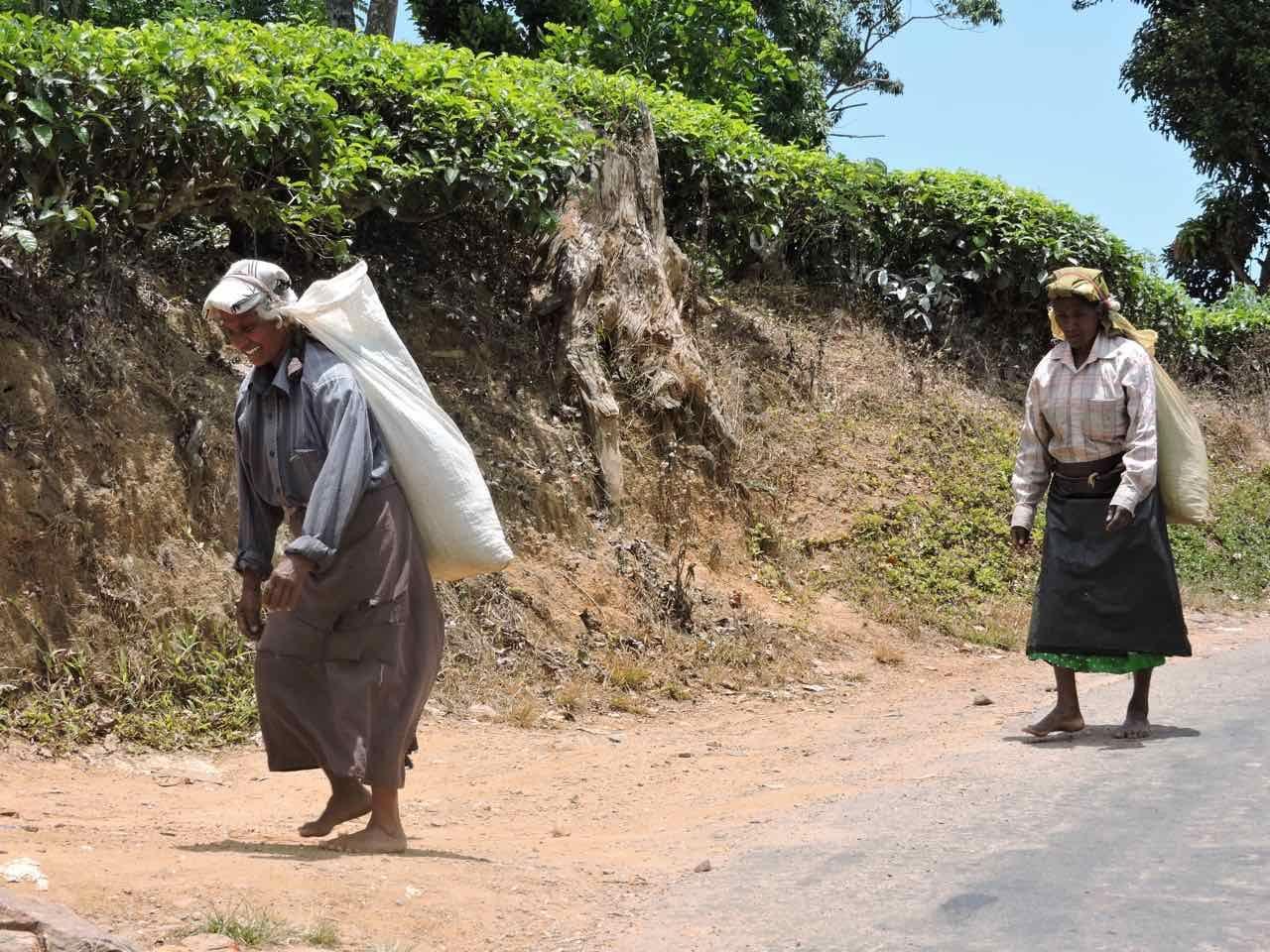 Raccolta del Te a Ella nella Hill Country dello Sri Lanka