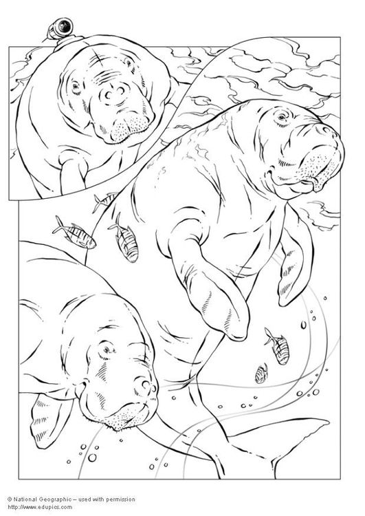 Coloring Page Manatee Img 5738 Coloring Pages Colouring Pages Shark Coloring Pages