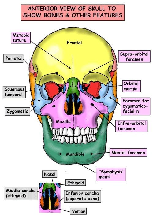 Anterior View of Skull to show bones and other features ...
