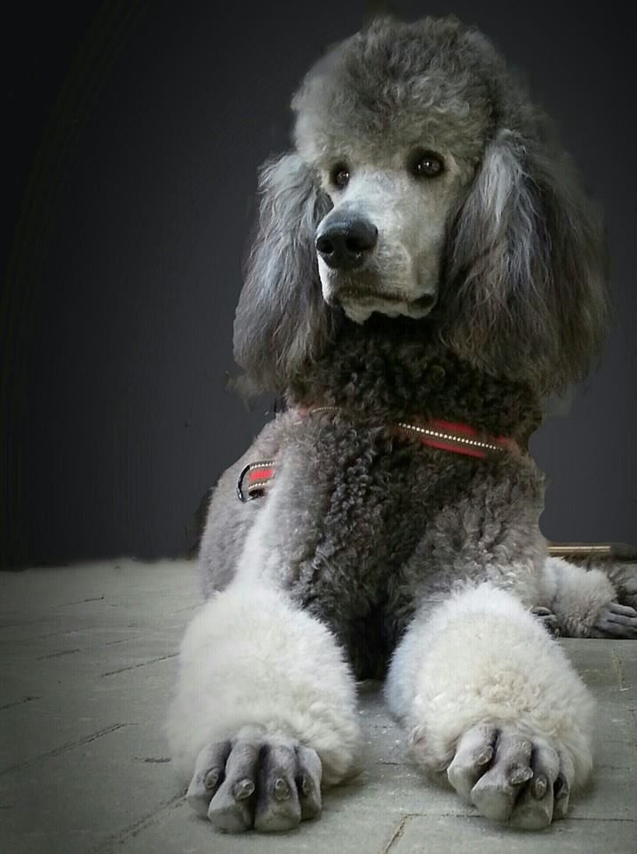 Poodle Puppy Image By Bobbie L On Poodles Have It All Poodle
