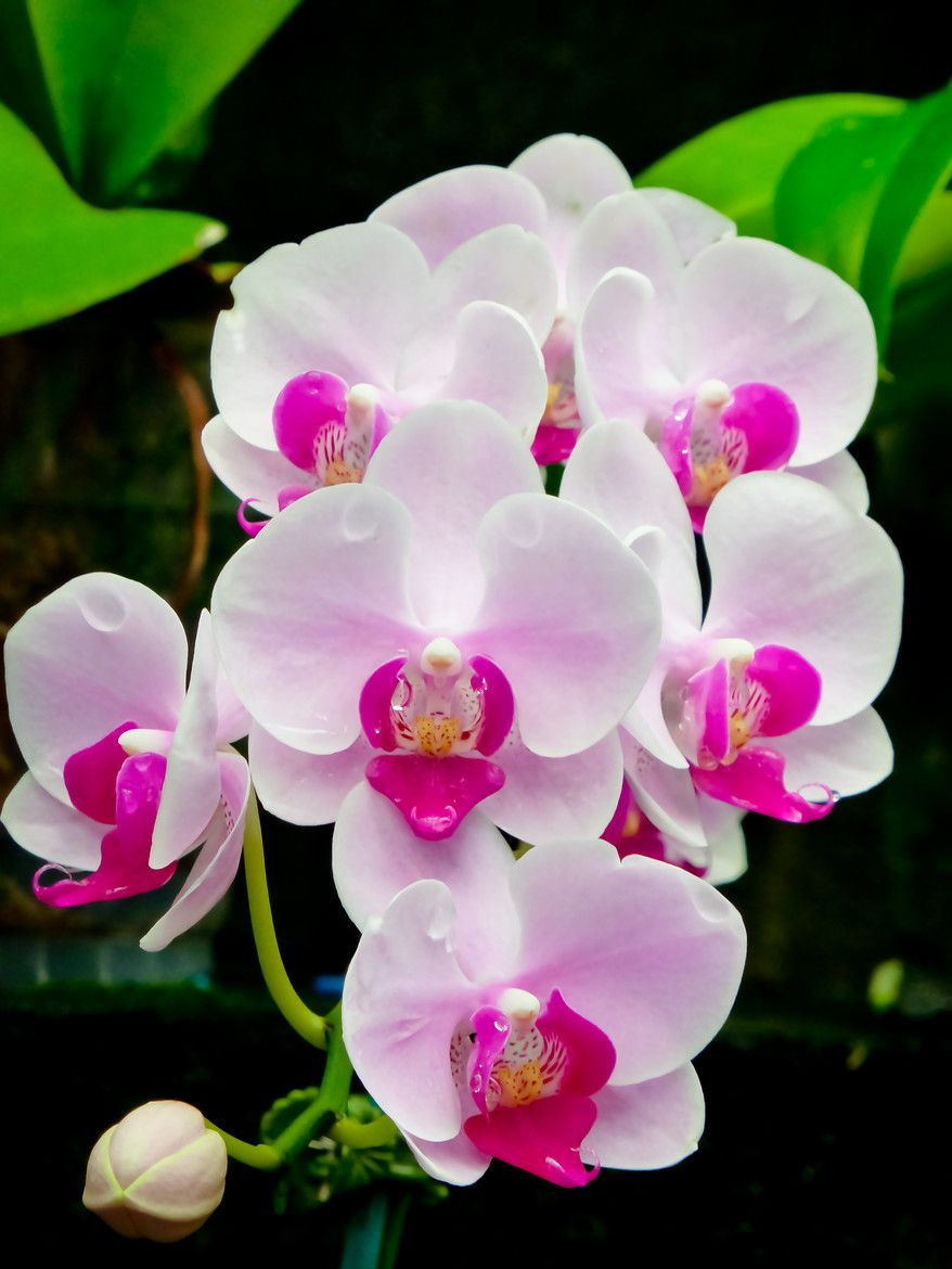 Pure Beauty By Susan Chan 500px Orchid Flower Beautiful Orchids Phalaenopsis Orchid