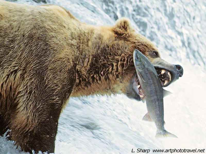Images of bears catching salmon