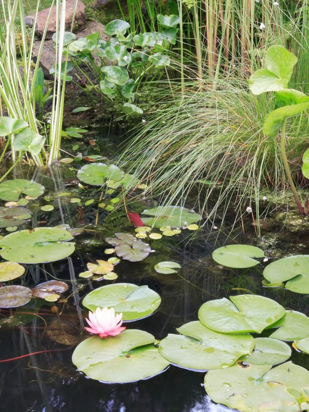 Adding plants to your garden pond garden ponds pond and for Koi pond hiding places