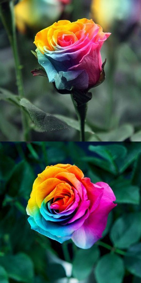 Egrow 200pcs Rainbow Rose Seeds Rare Colorful Flower Potted Plant Garden Bonsai Gardening From Home And Garden On Banggood Com Colorful Flower Pot Rose Seeds Rainbow Flowers