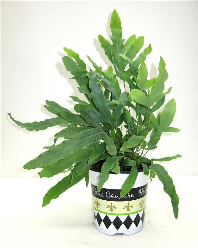 fashionista fern phlebodium blue star tres chic tropicals pinterest ferns plants and. Black Bedroom Furniture Sets. Home Design Ideas