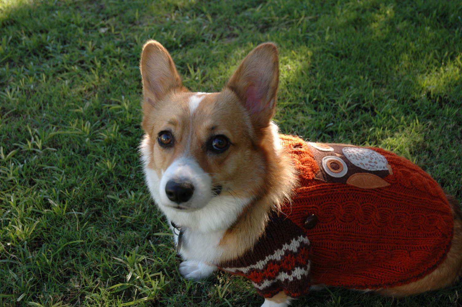 A Corgi In An Owl Sweater Corgi Fluffy Corgi Corgi Dog