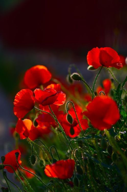 Pin by heloisa ignacio on variados pinterest poppy flower meaning flower meaning mightylinksfo