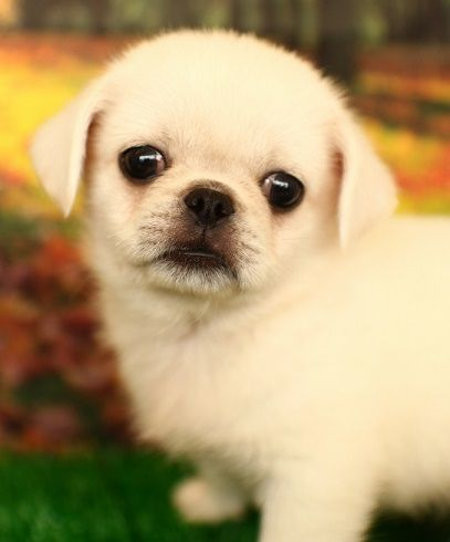 Pug and Japanese Spitz. Is this a real mix because if so.... I want it.