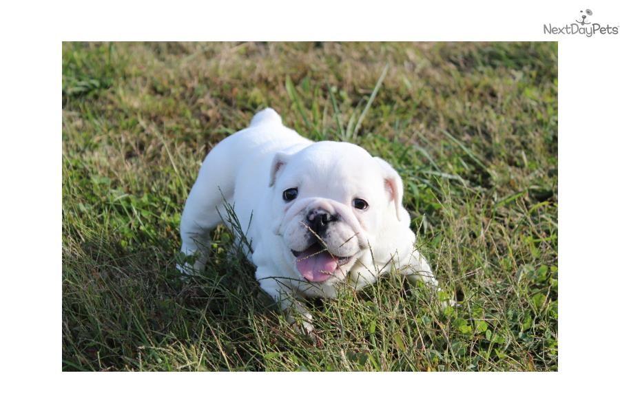 Meet Sugar A Cute English Bulldog Puppy For Sale For 1 600 Sugar