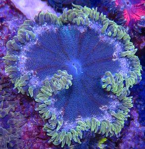 Green Rock Anemone Live Coral Aquarium Flower Rock Anemone Reef Aquarium With Images Life Under The Sea Sea Creatures Saltwater Tank