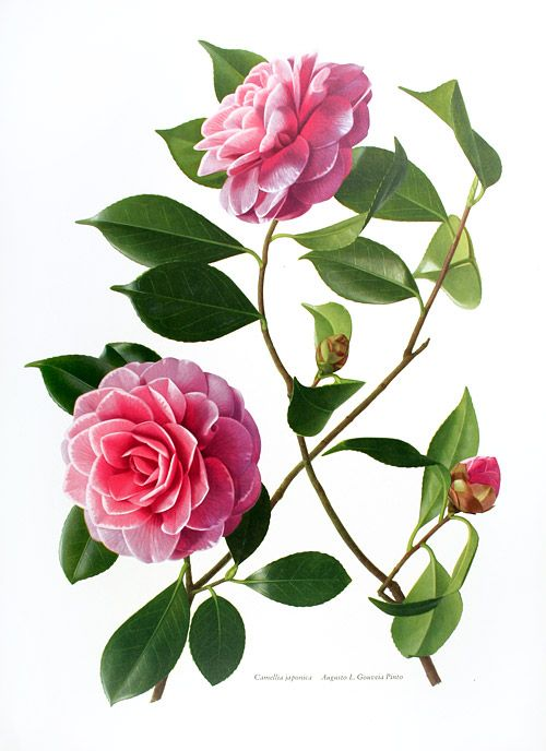 Botanical Prints Natural History Prints From Studiobotanika Botanical Flowers Print Flower Art Botanical Drawings