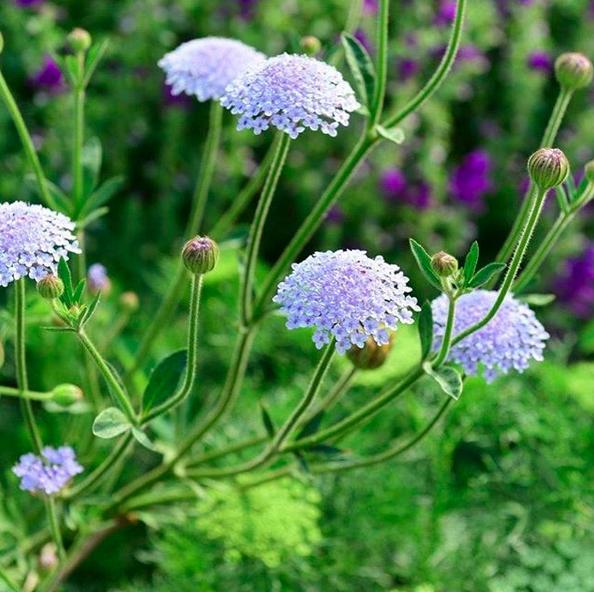 Trachymene Coerulea Blue Lace Flower Plants Flowers Winter Plants
