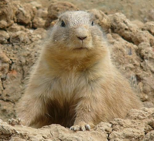 Prairie Dogs Hands Down The Best Pet I Ever Owned I Love These Little Guys Prairie Dog Dogs Animals