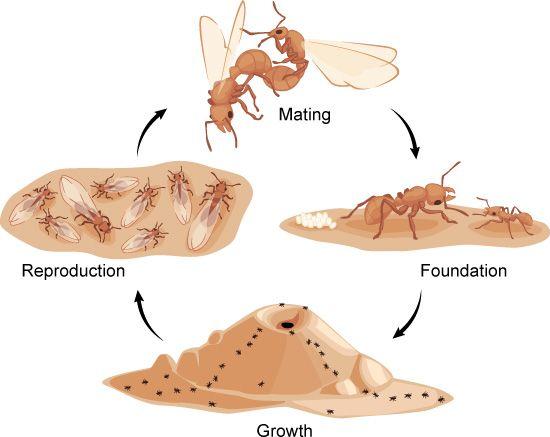 life cycle of an ant colony asu ask a biologist fourmis pinterest fourmis et fiches. Black Bedroom Furniture Sets. Home Design Ideas