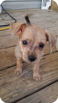 Berwick Pa Miniature Pinscher Cairn Terrier Mix Meet Roo A