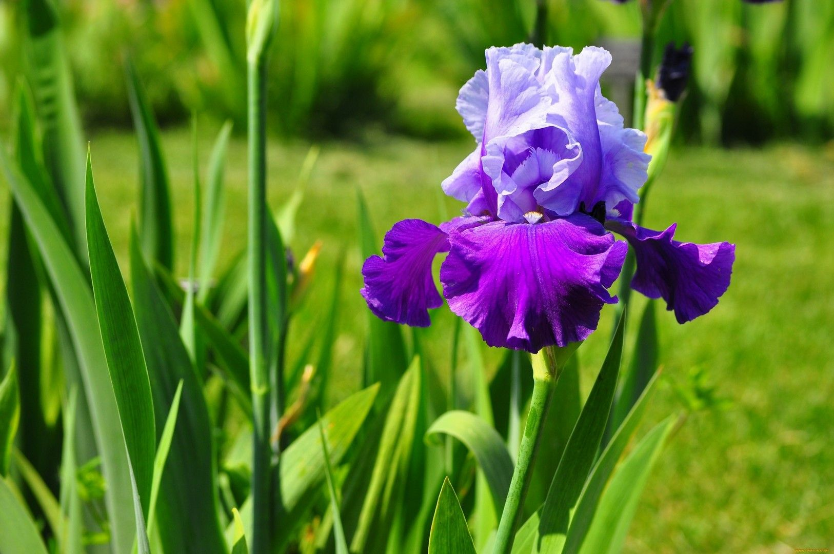 Iris wallpapers flowers wallpaper pinterest iris and flowers bearded iris need neutral or slightly alkaline soil be sure it has to be moisture permeability irises not tolerate acidic soil and clay izmirmasajfo Images